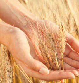 celiachia gluten sensitivity falsi miti